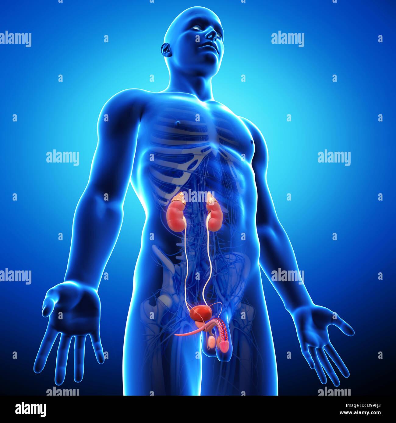 Male Urinary System Stockfotos & Male Urinary System Bilder - Alamy