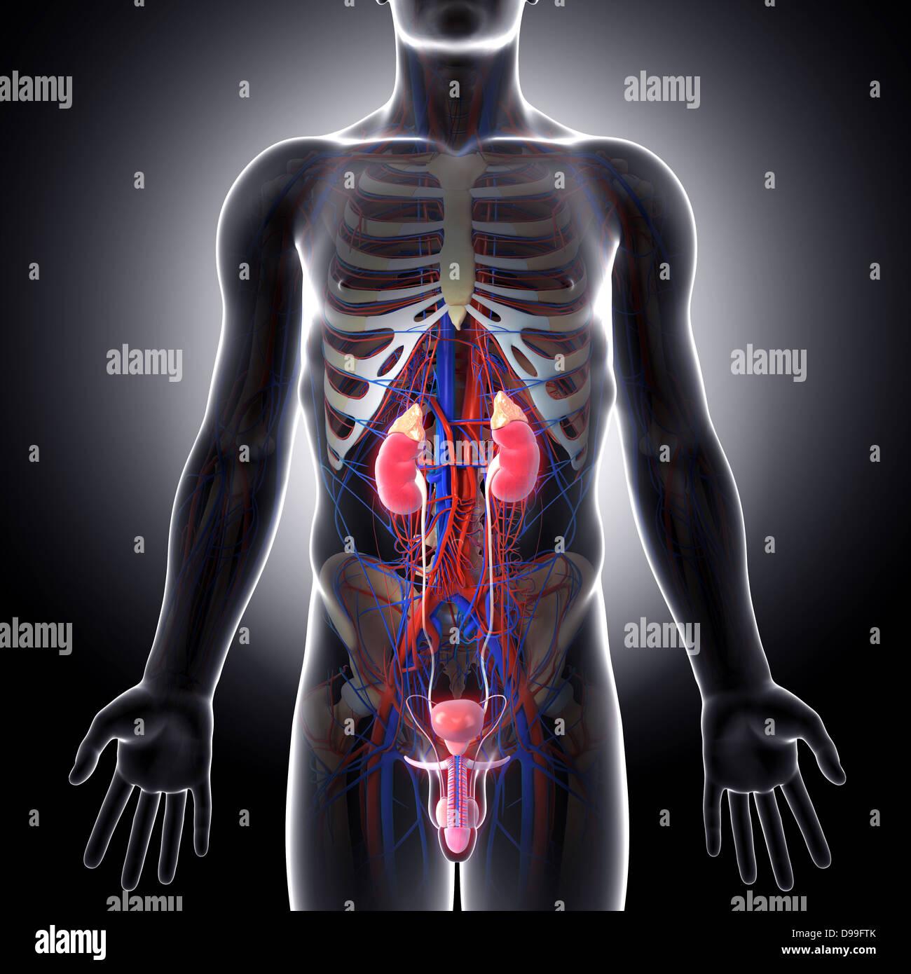 Großzügig Männlich Harnwege Anatomie Fotos - Menschliche Anatomie ...