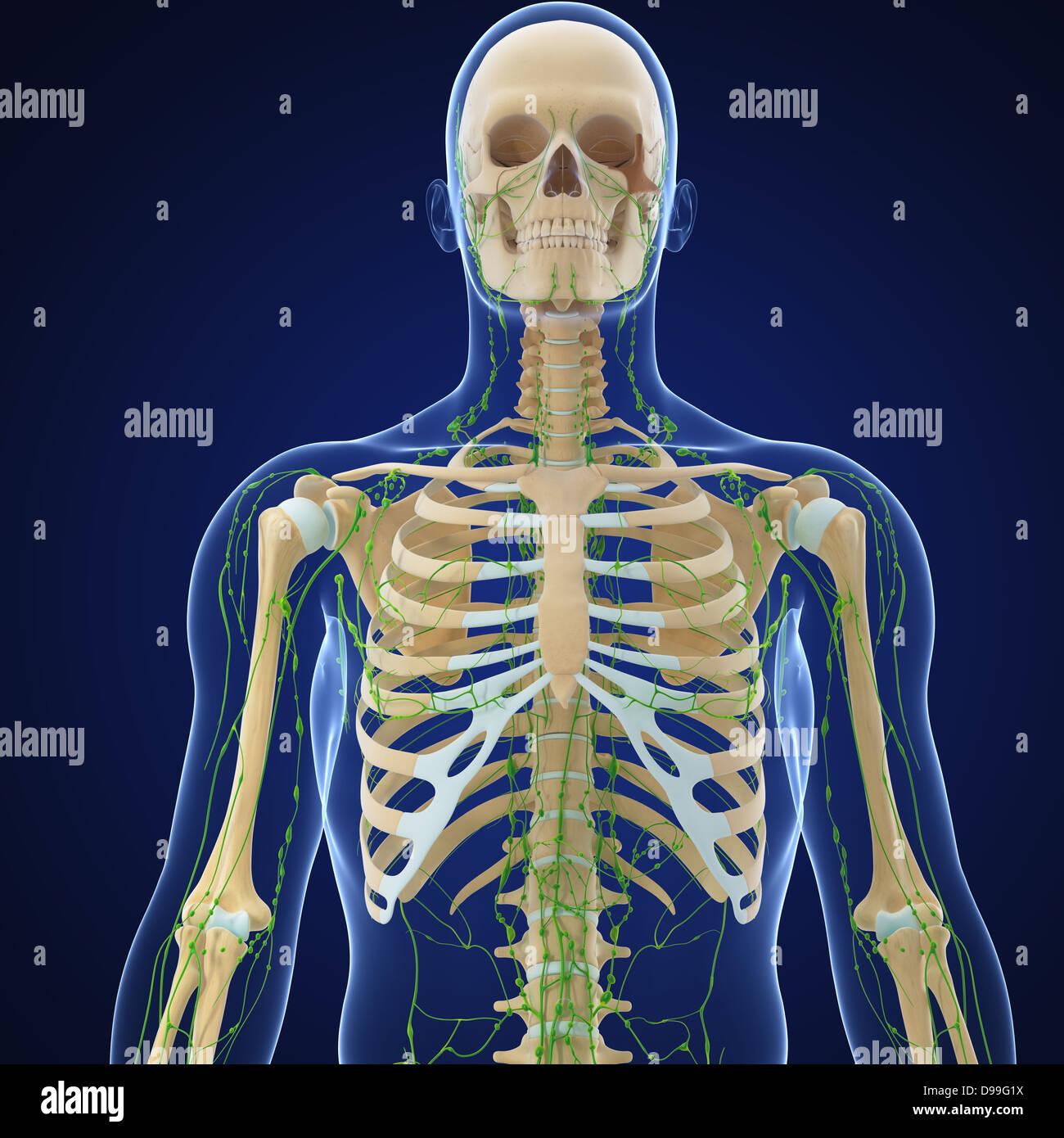 Wunderbar Anatomie Und Physiologie Des Lymphsystems Pdf Fotos ...