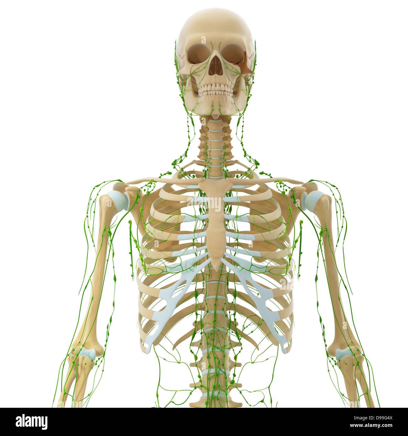 Niedlich Anatomie Des Lymphsystems Fotos - Menschliche Anatomie ...