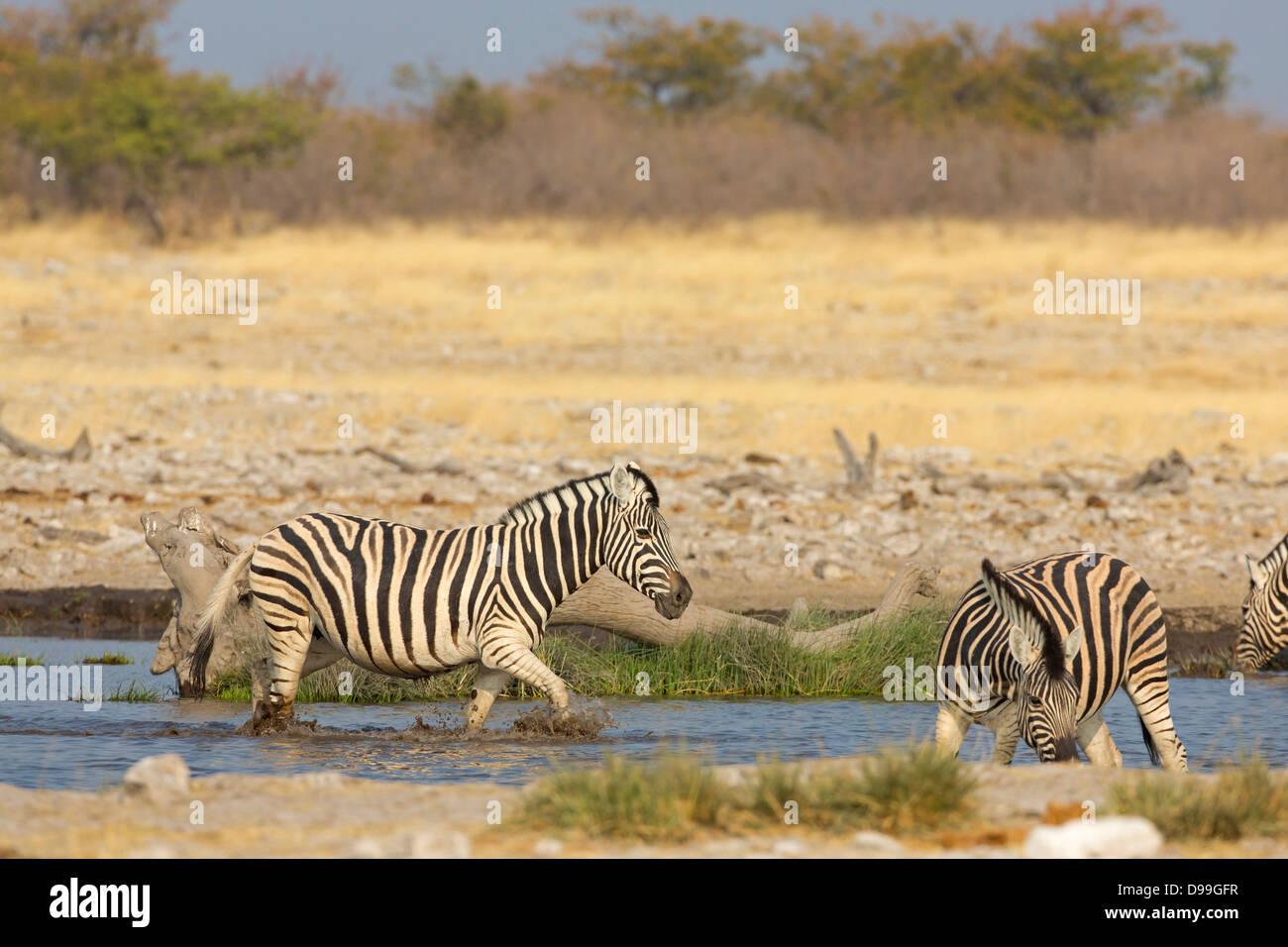 Ebenen Zebra, gemeinsame Zebra, Burchell Zebra, Equus Quagga, Ebenen Zebra, gemeinsame Zebra, Burchell Zebra, Steppenzebra, Stockbild