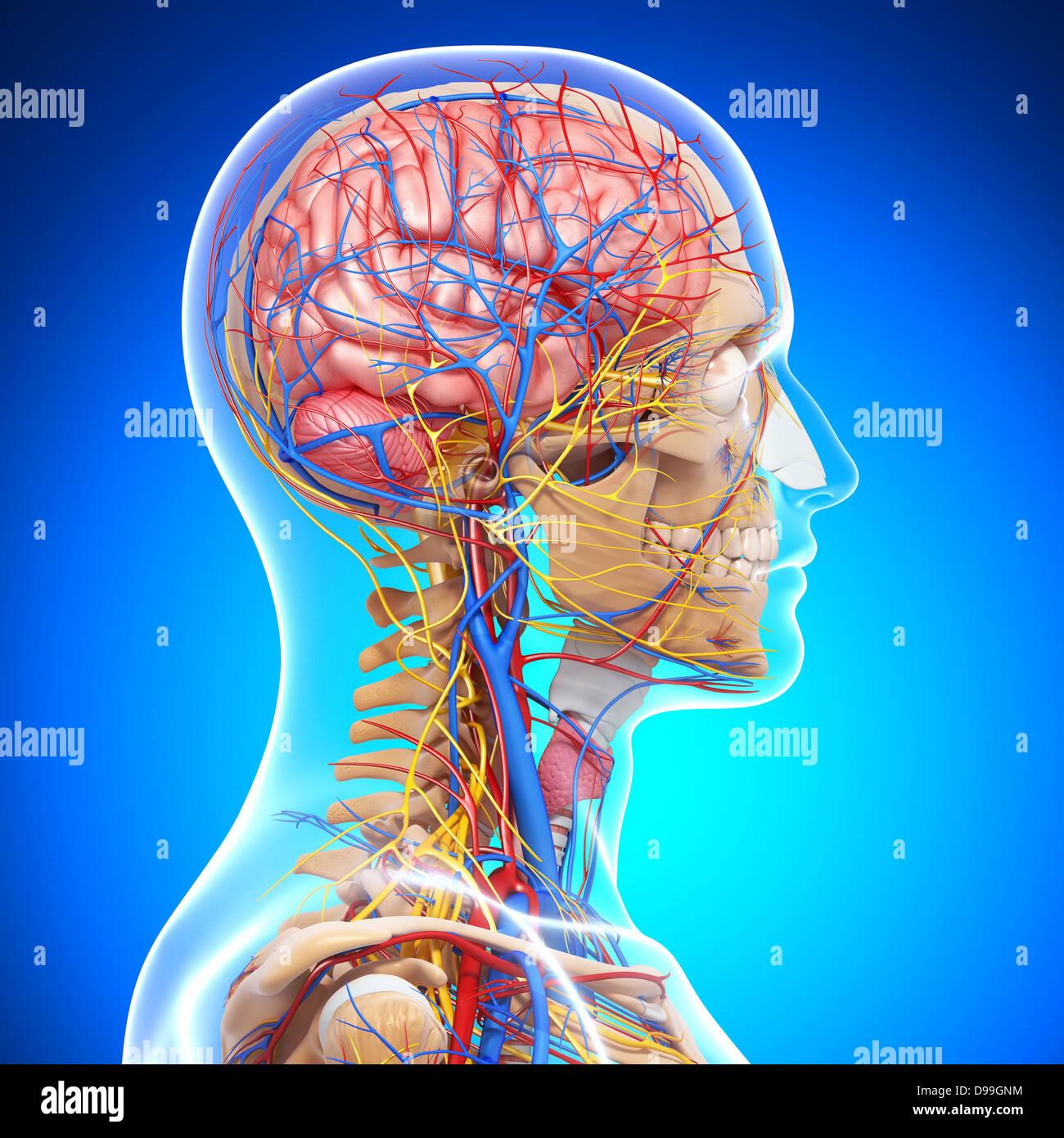 Herz-Kreislauf-System der menschlichen Kopf Anatomie Stockfoto, Bild ...
