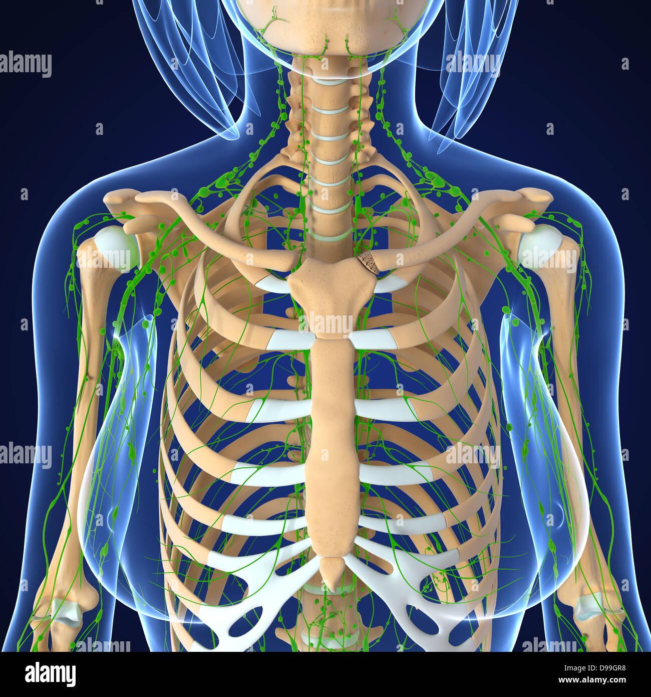 Ungewöhnlich Sichtbarer Körper Anatomie Und Physiologie Bewertung ...