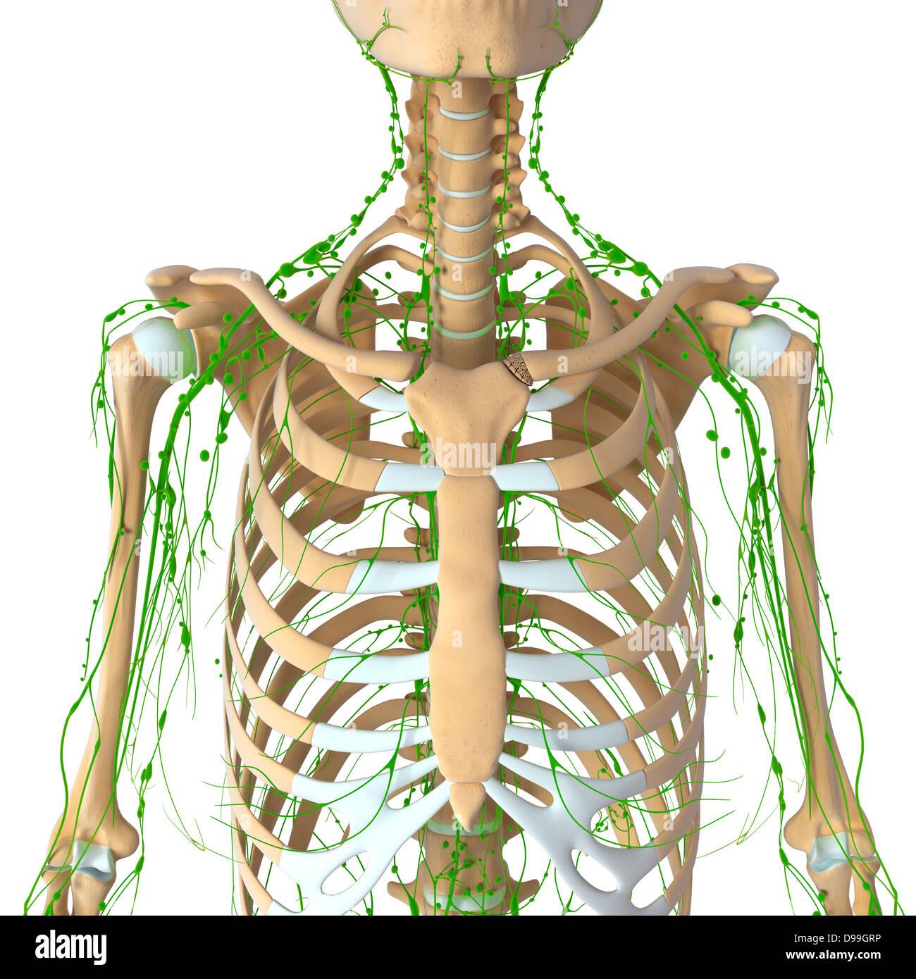 Lymphatische System des menschlichen Körpers-Anatomie Stockfoto ...