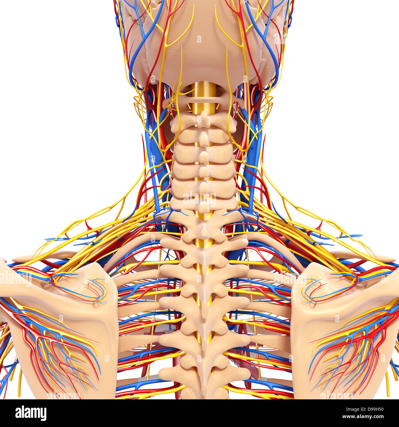 Arteries Stockfotos & Arteries Bilder - Seite 3 - Alamy