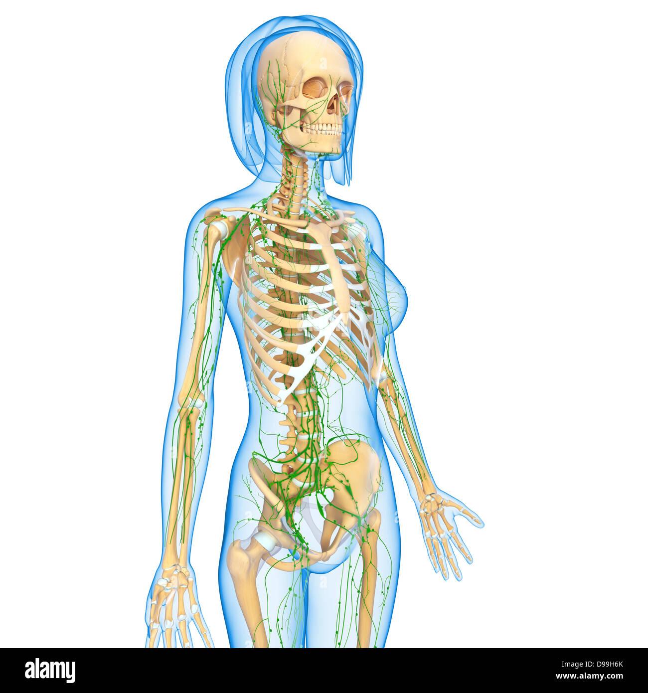 Erfreut Vollständige Anatomie Des Menschlichen Körpers Ideen ...
