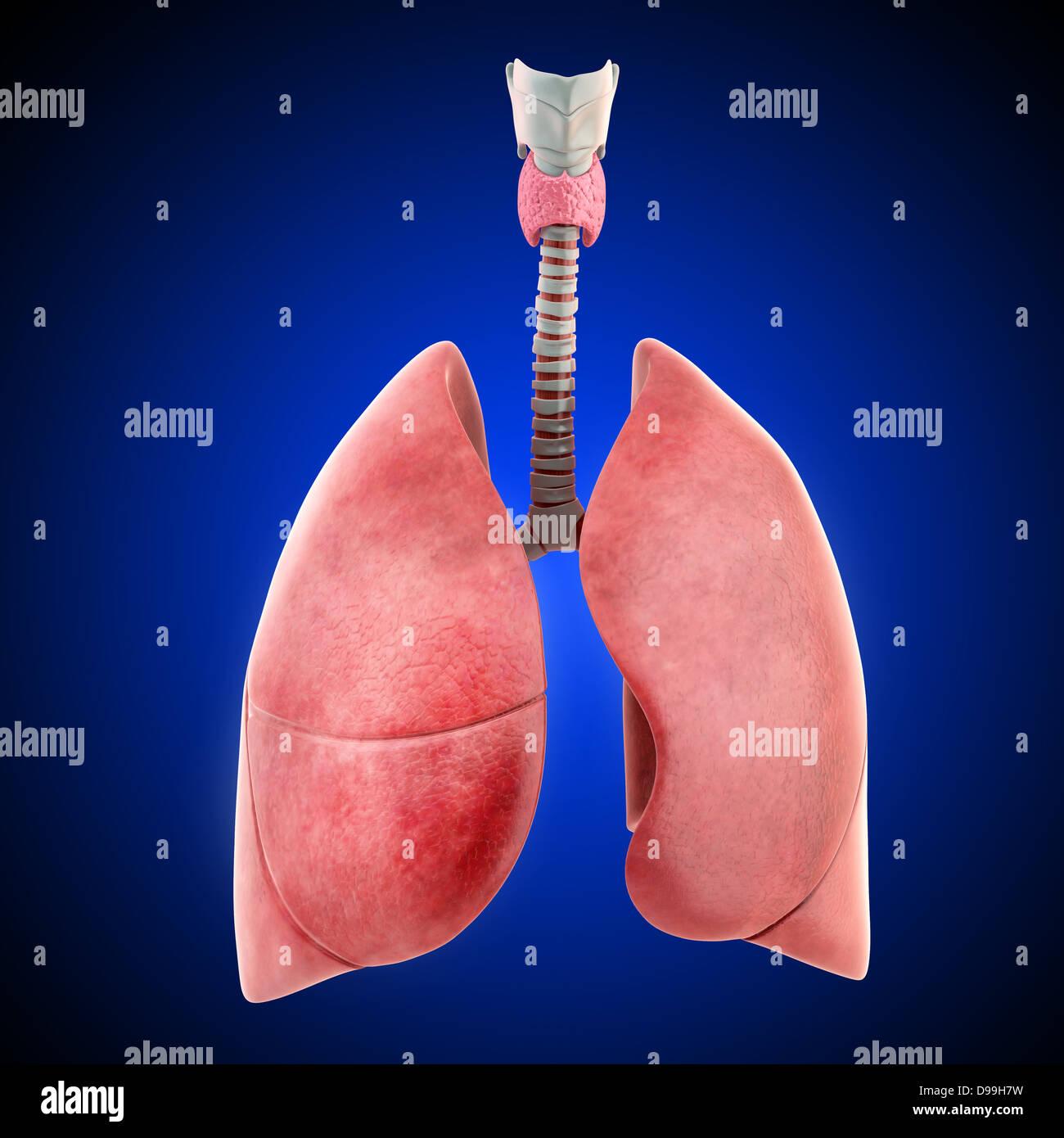 3D Anatomie der menschlichen Lunge Stockfoto, Bild: 57374125 - Alamy