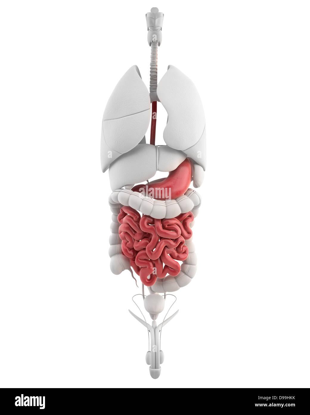 Männchen mit allen inneren Organen Magen Anatomie Stockfoto, Bild ...