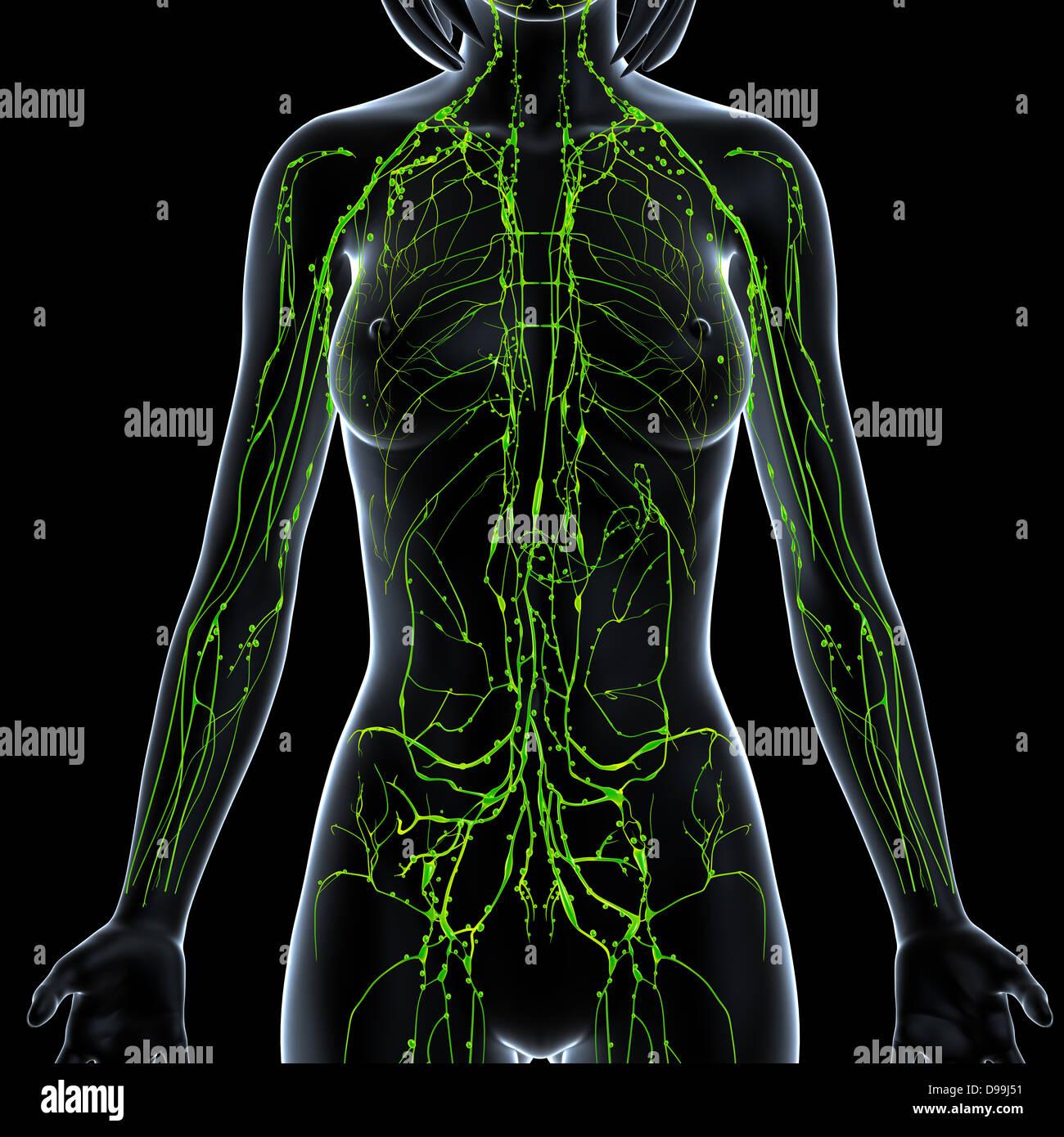 Tolle Menschlichen Weiblichen Körpers Bilder Zeitgenössisch ...