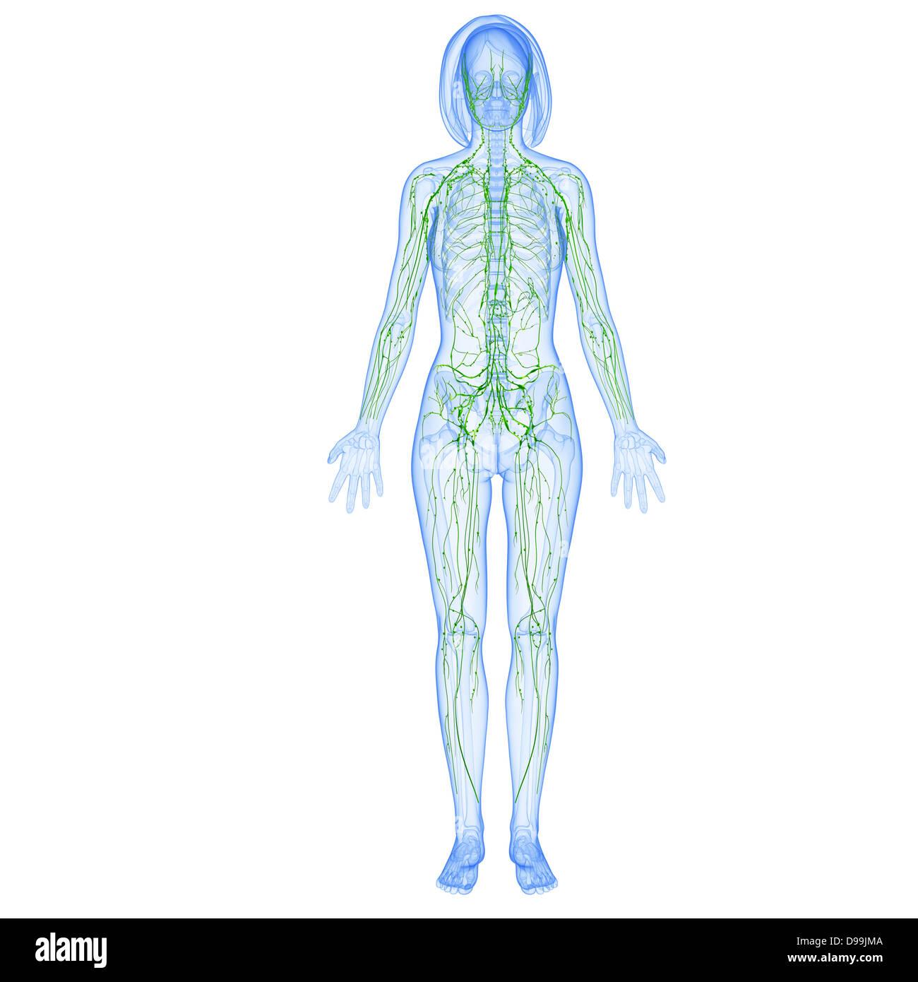 Wunderbar Bild Der Weiblichen Organe Des Körpers Fotos - Anatomie ...