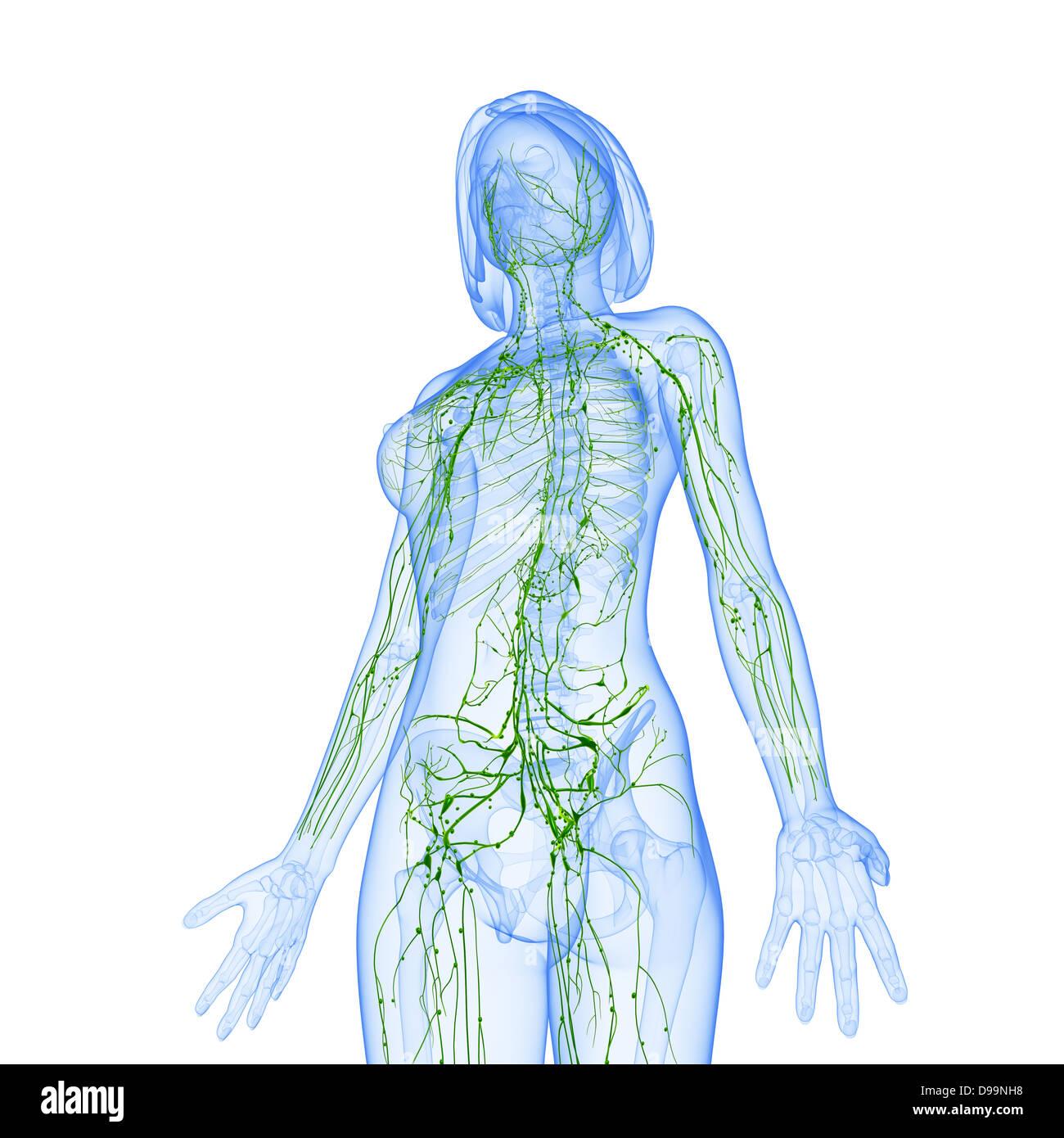 Atemberaubend Weibliche Ejakulation Anatomie Galerie - Anatomie Von ...