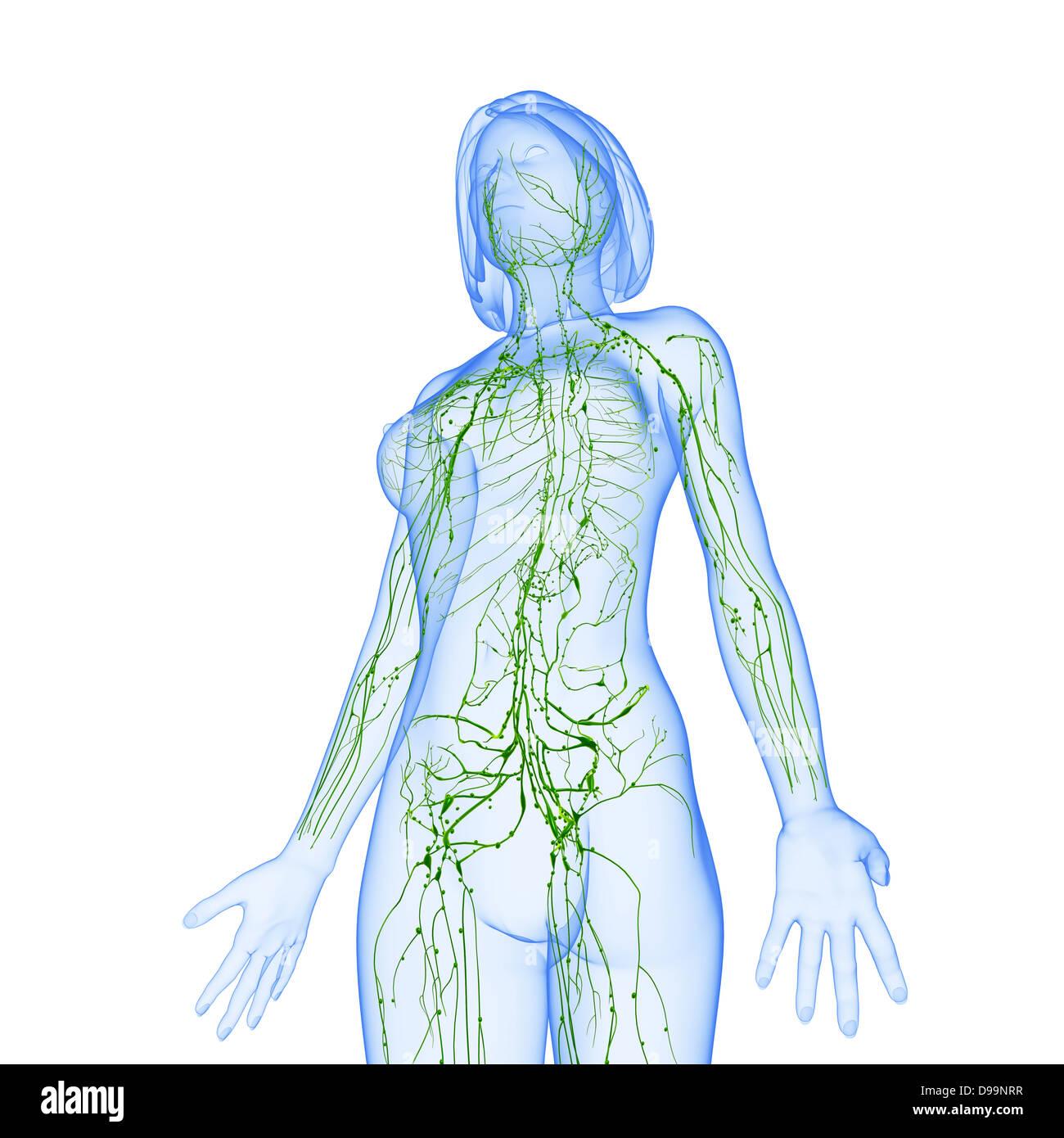 Lymphsystem des weiblichen Körpers-Anatomie Stockfoto, Bild ...