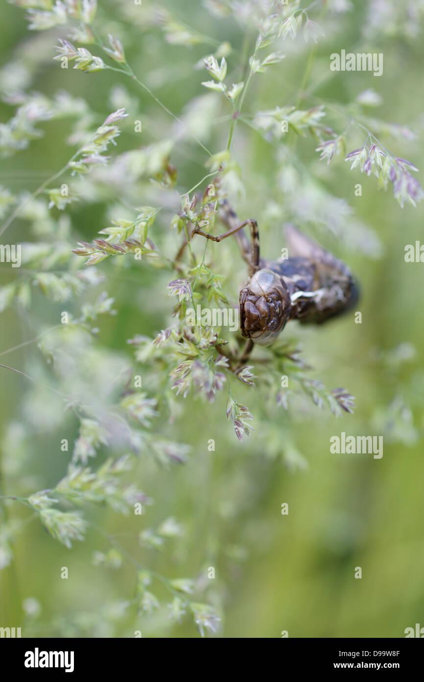 Libellen-Exoskelett Stockbild