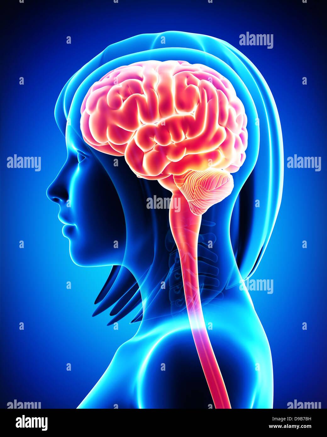 Anatomie des weiblichen Gehirns Querschnitt von außerhalb Stockfoto ...