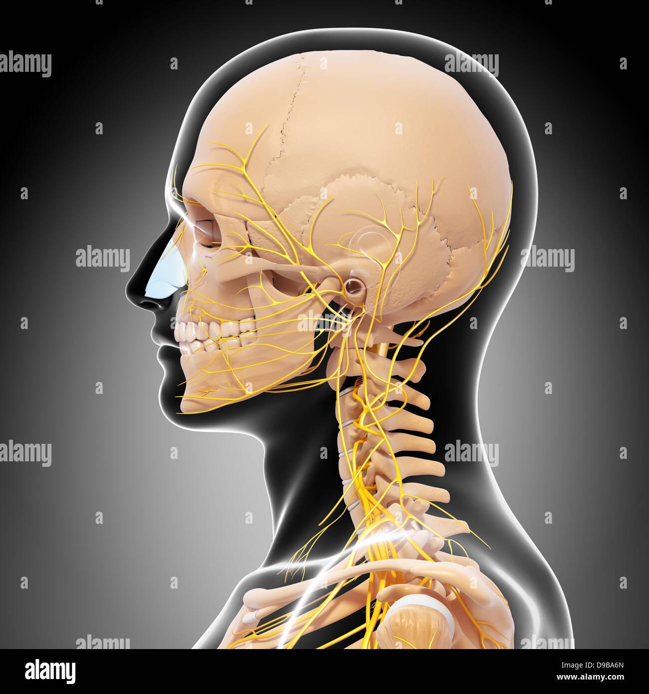 Nervensystem des menschlichen Kopf Anatomie in Form von x-ray ...