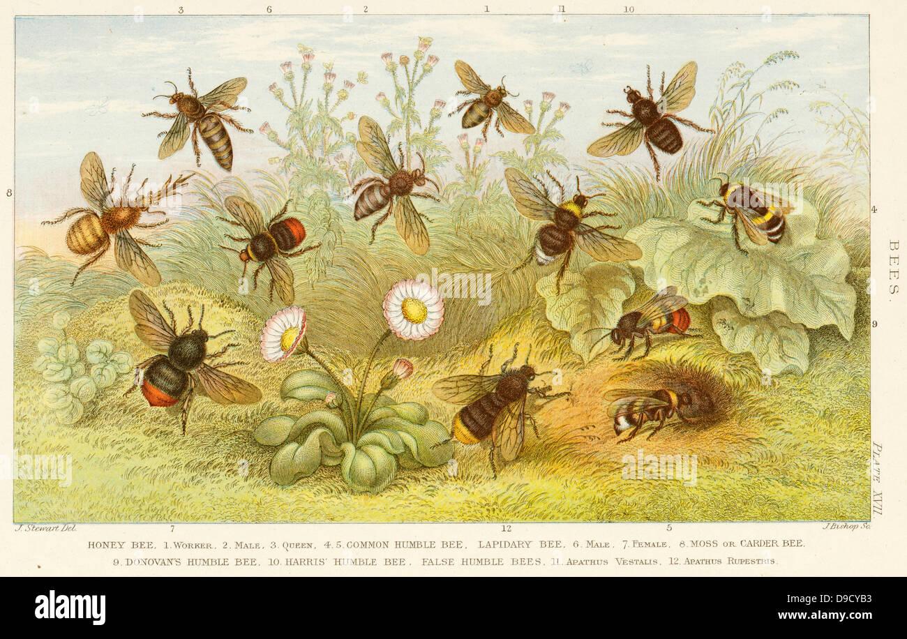 Worker Bee Drone Bee And Queen Bee Stockfotos Worker Bee