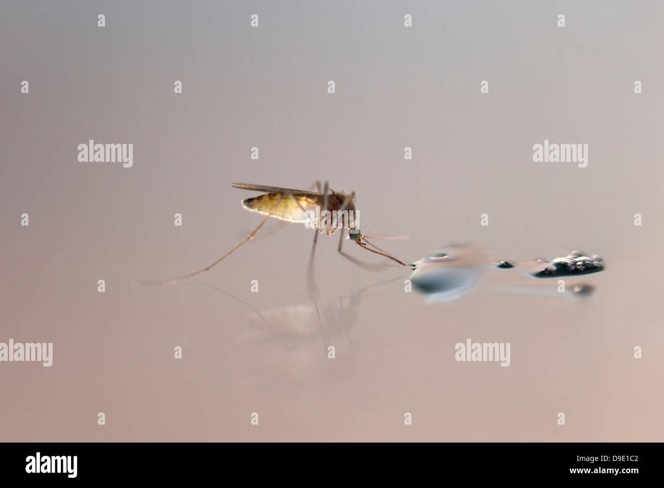 Nahaufnahme einer Mücke Trinkwasser Stockbild