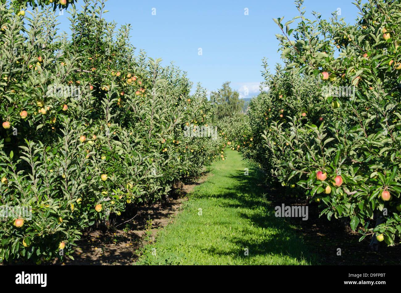 Apfelplantage, Kelowna, British Columbia, Kanada Stockbild
