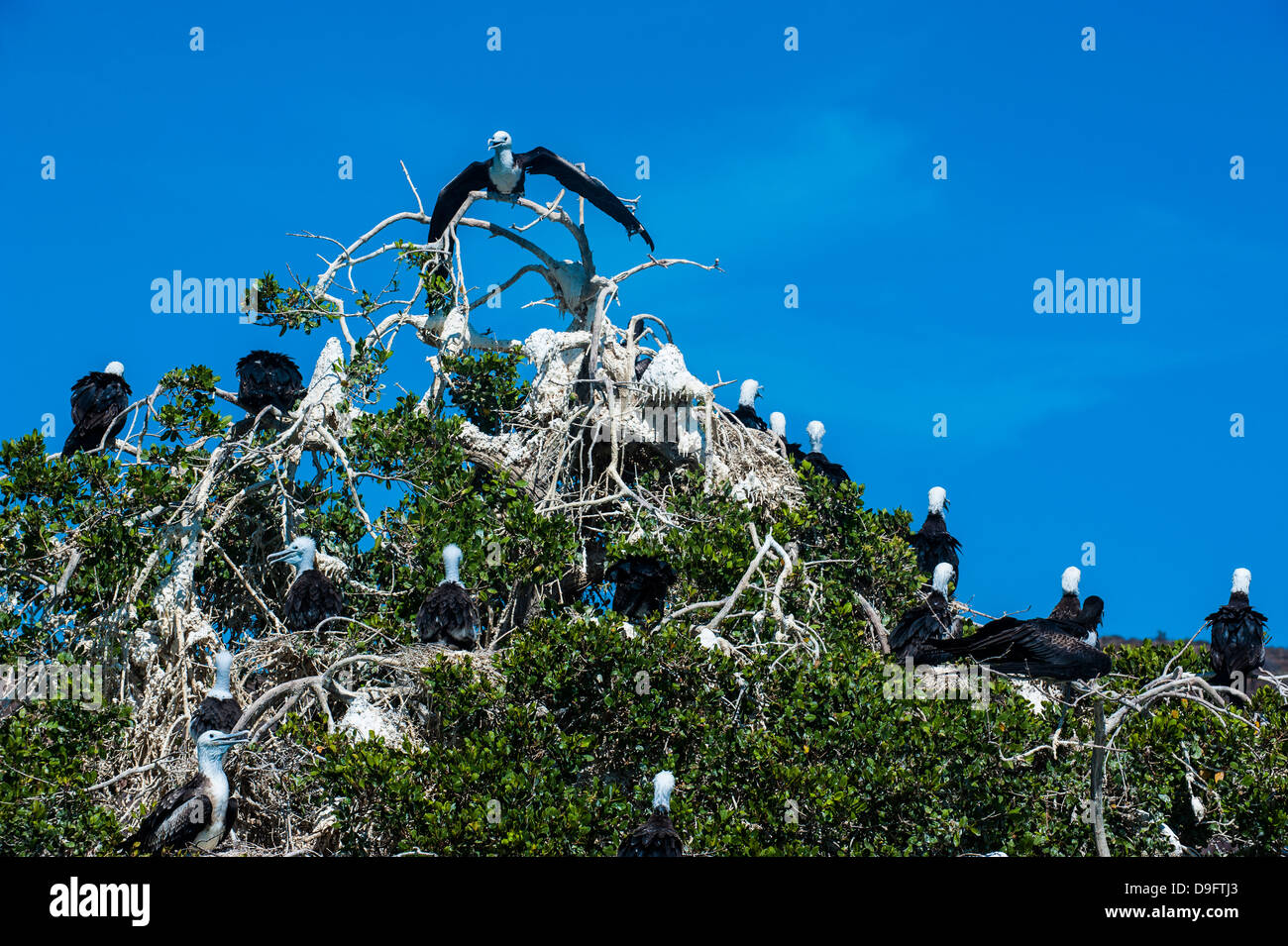 Fregattvögel Kolonie auf Isla Espiritu Santo, Baja California, Mexiko Stockbild