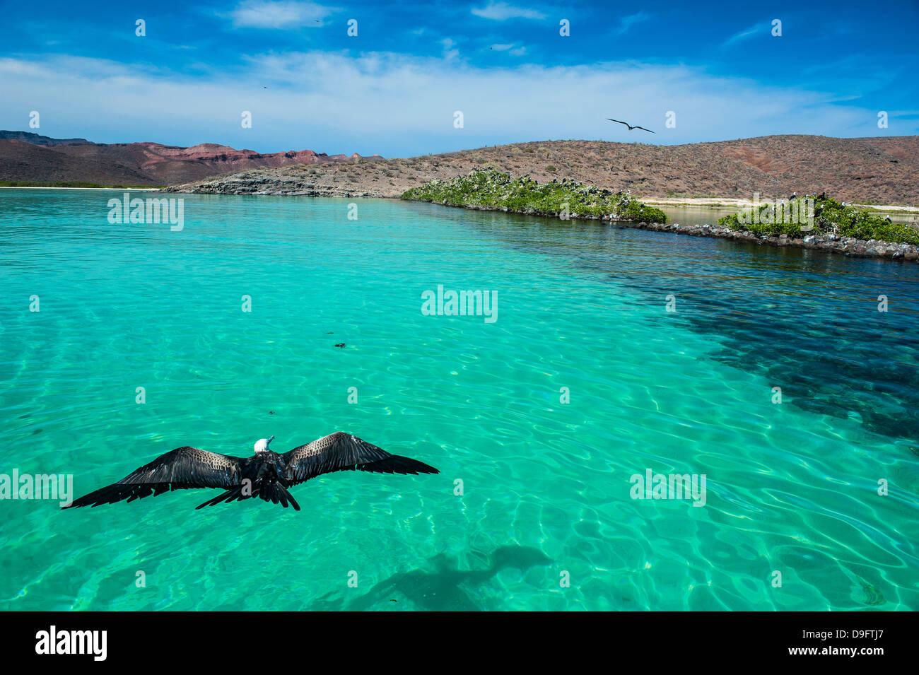 Fregattvogel und das türkisfarbene Wasser der Isla Espíritu Santo, Baja California, Mexiko Stockbild