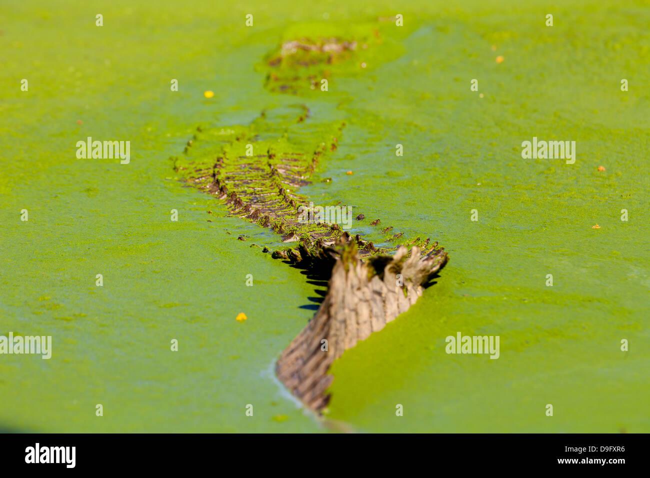Heck des Krokodils verschwand in Grünalgen Wasser, Western Cape, Südafrika, Afrika Stockbild