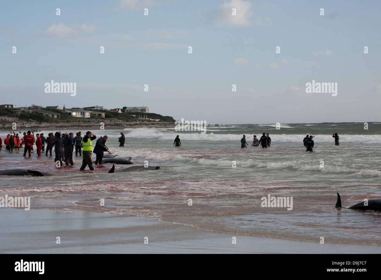 Im Jahr 2009 strandeten Pod falsche Killerwale sich selbst auf mysteriöse Weise Küstenlinie Süden Stockbild