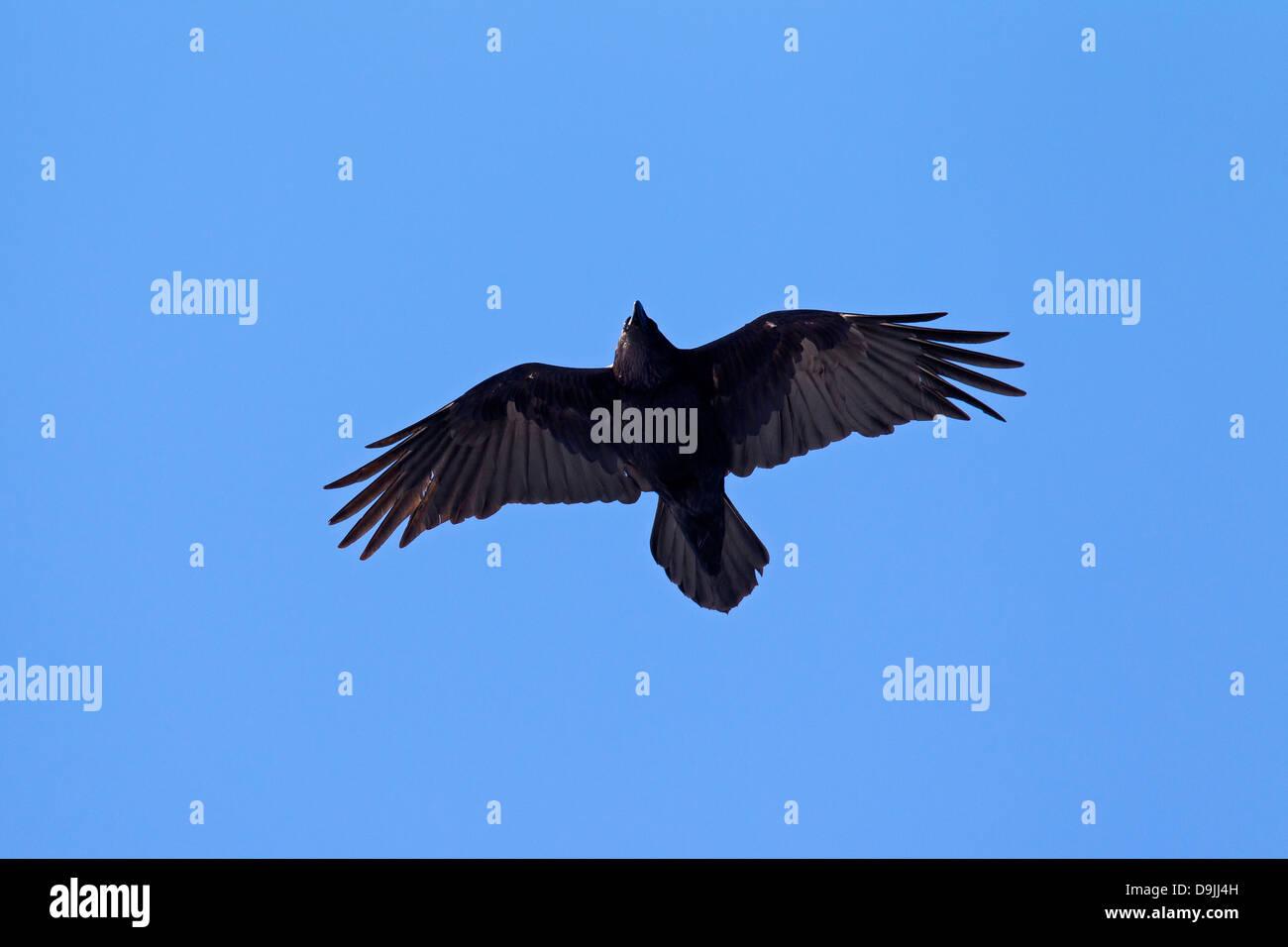 Gemeinsamen Raven / Northern Raven (Corvus Corax) Vogel im Flug Stockbild