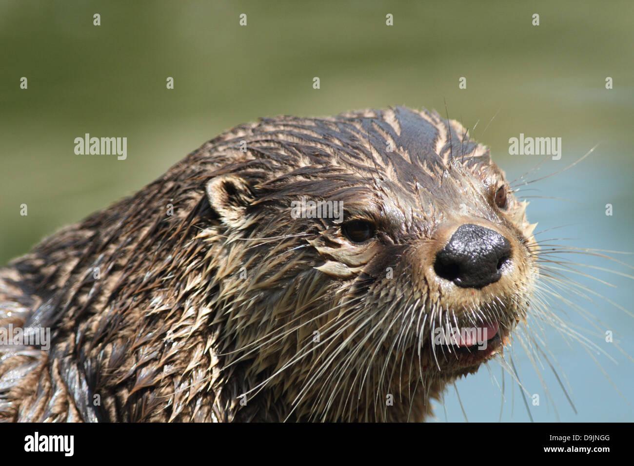 Otter im Zoo von Bristol. Stockbild
