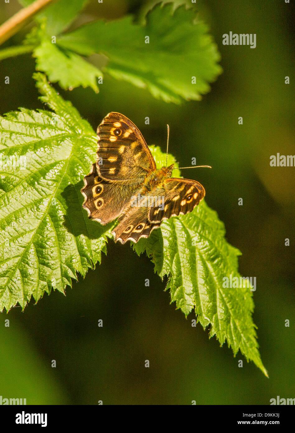Gesprenkelte Holz Schmetterling Pararge Aegeria auf Bramble verlässt Stockbild