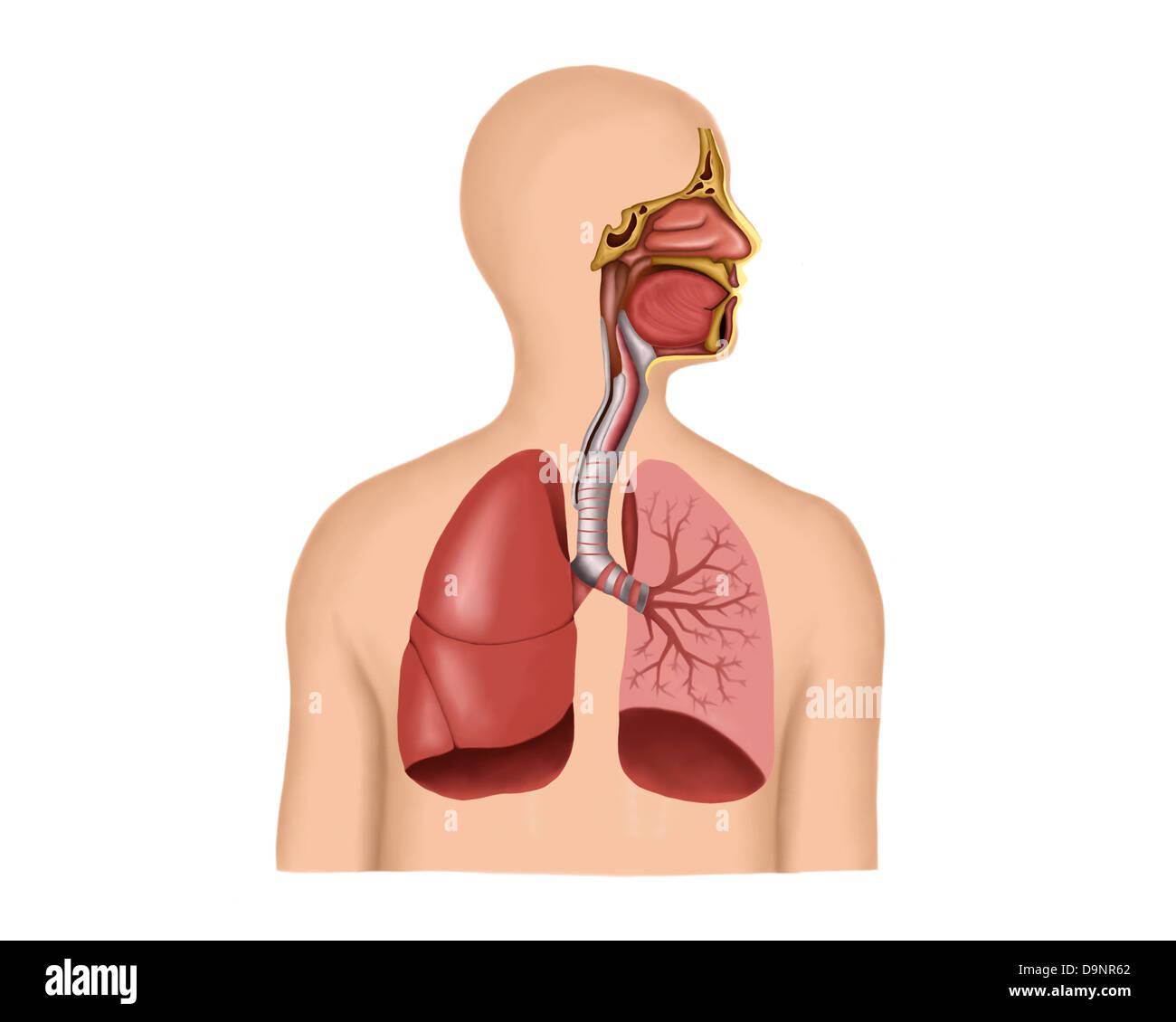 Respiratory Tract Stockfotos & Respiratory Tract Bilder - Alamy