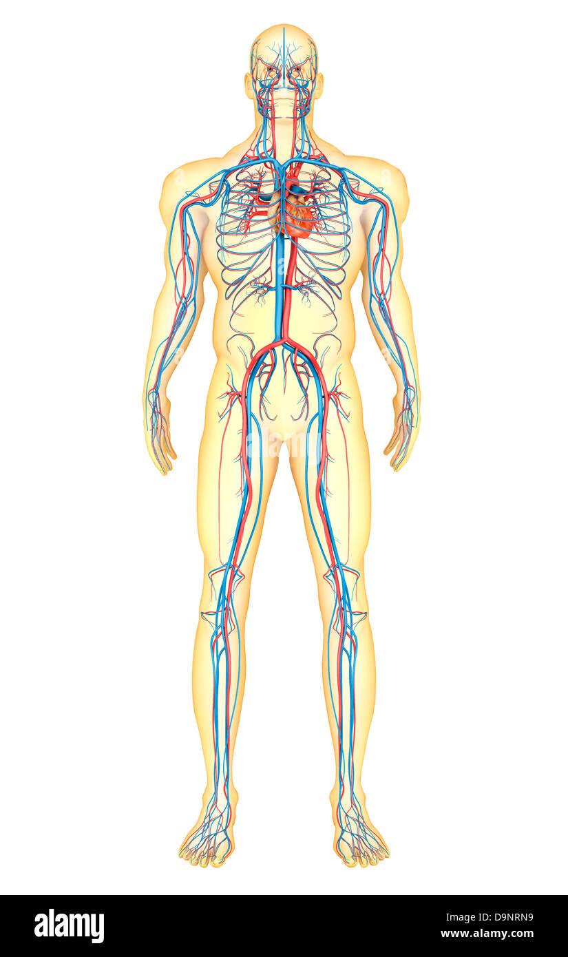 Anatomie des menschlichen Körpers und Herz-Kreislauf-System ...