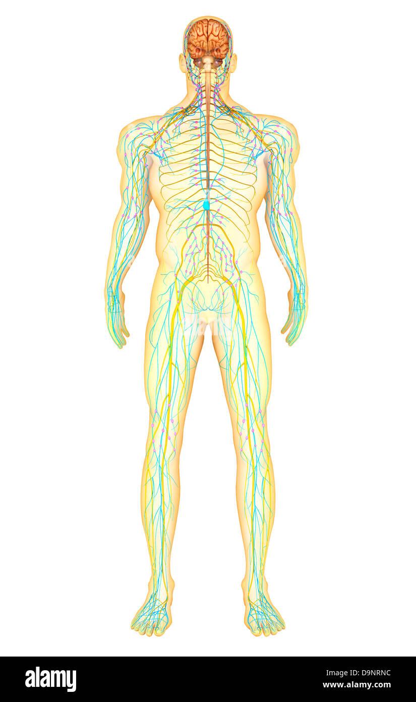 Anatomie des menschlichen Nervensystems und Lymphsystem ...
