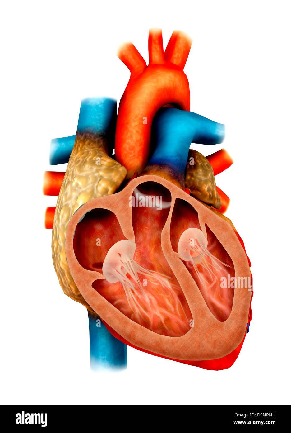 Anatomie des menschlichen Herzens, Querschnitt Stockfoto, Bild ...