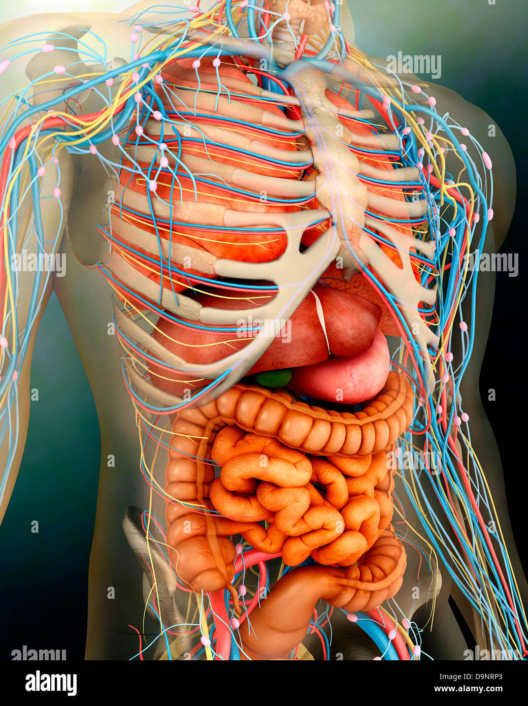 Blood Vessels Of The Thorax Stockfotos & Blood Vessels Of The Thorax ...
