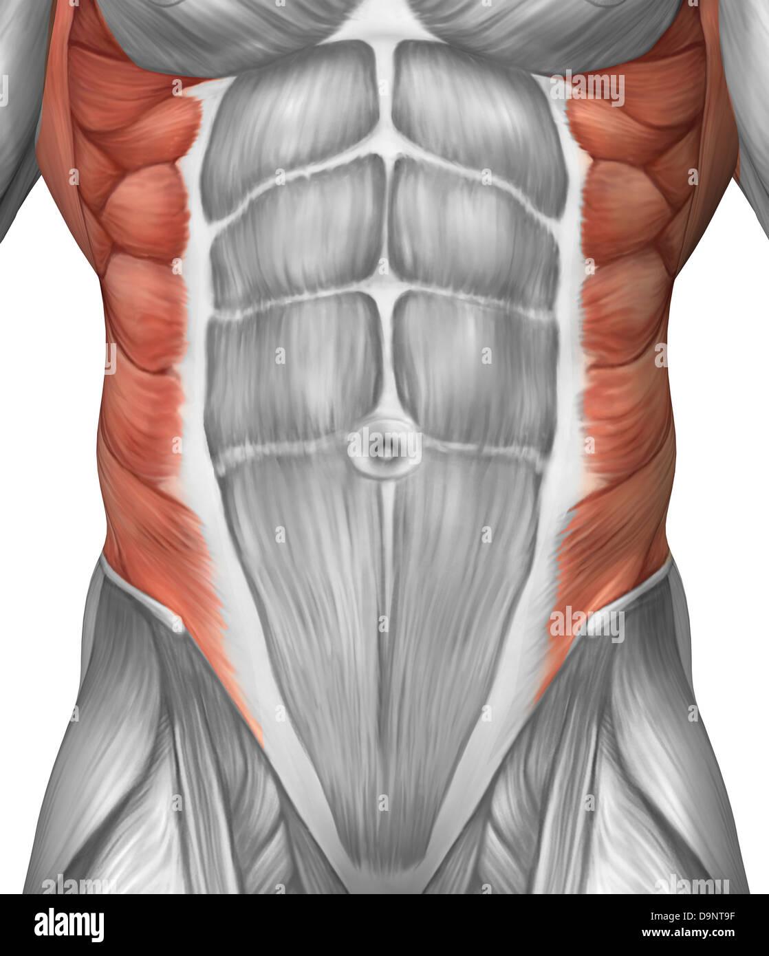 Männliche Muskeln Anatomie der Bauchwand Stockfoto, Bild: 57643083 ...