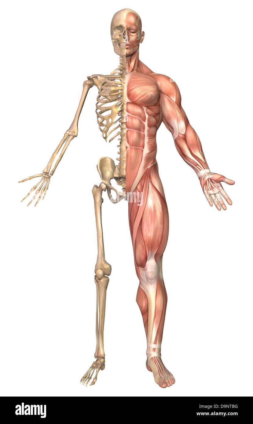 Medizinische Illustration des menschlichen Skelett und Muskulatur, Vorderansicht. Stockbild