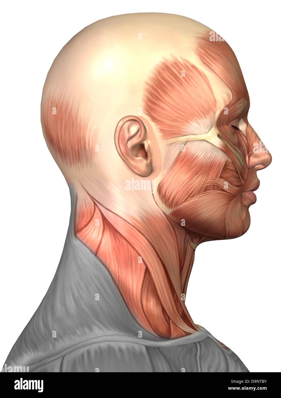 Anatomie des menschlichen Gesichts-Muskeln, Seitenansicht Stockfoto ...