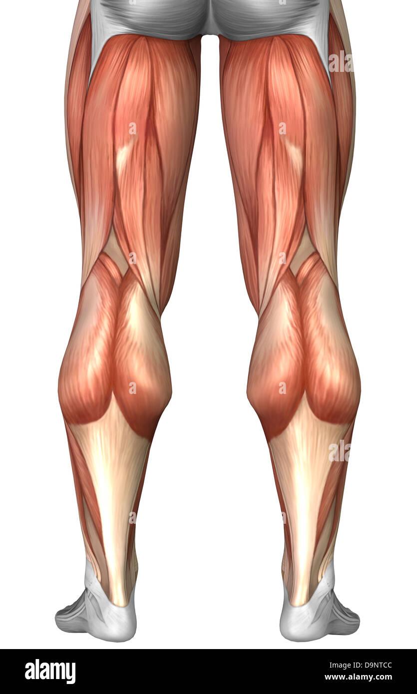 Diagramm zur Veranschaulichung Muskelgruppen auf Rückseite des ...