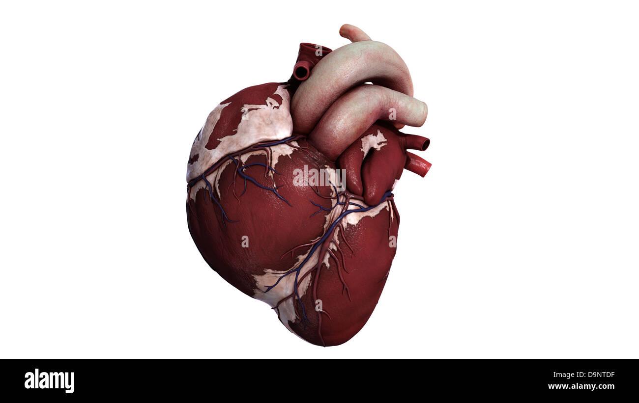 Drei dimensionale Darstellung des menschlichen Herzens, vorne ...