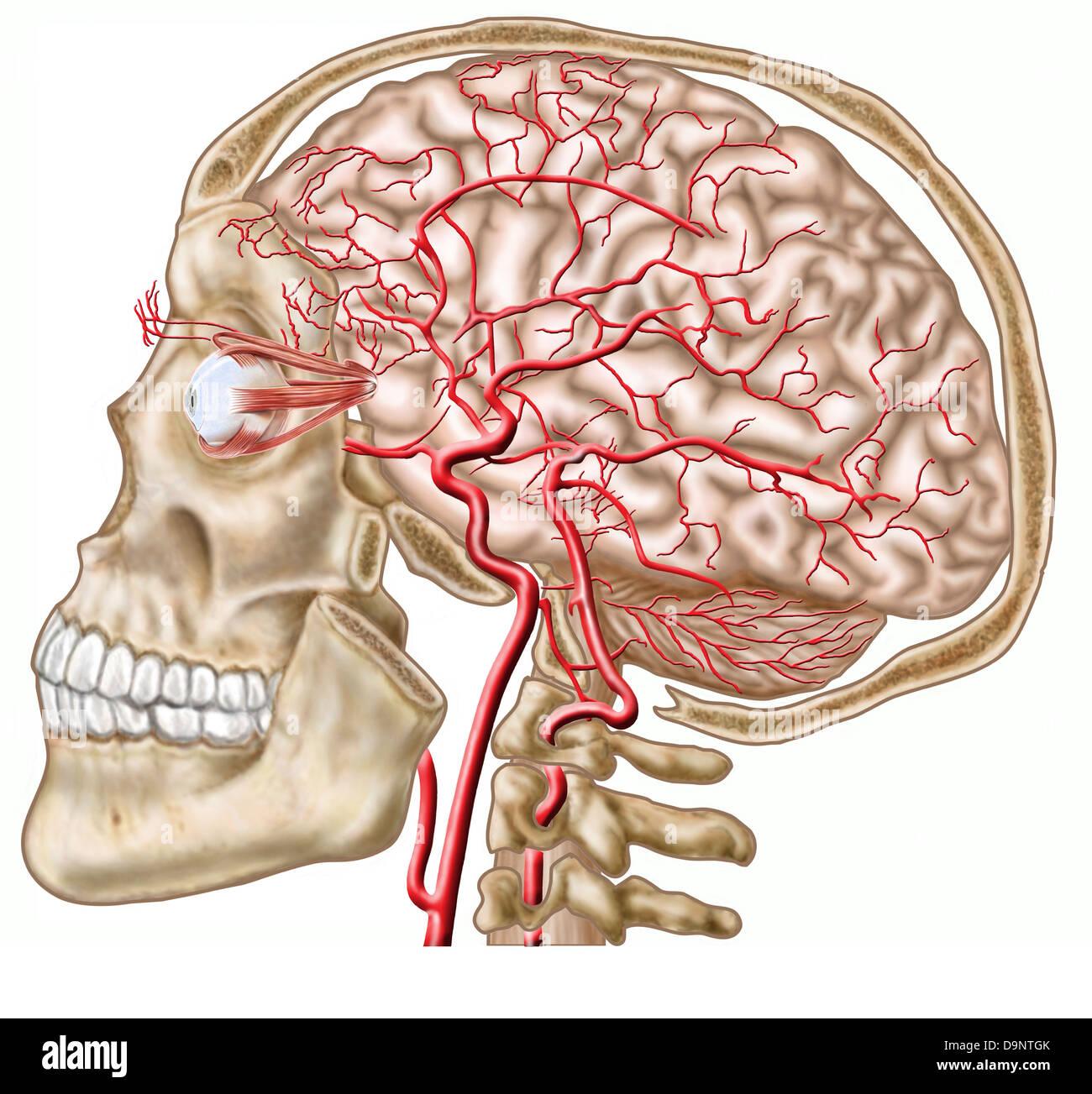 Anatomie des menschlichen Schädels, Augapfel und Arterien zum Gehirn ...