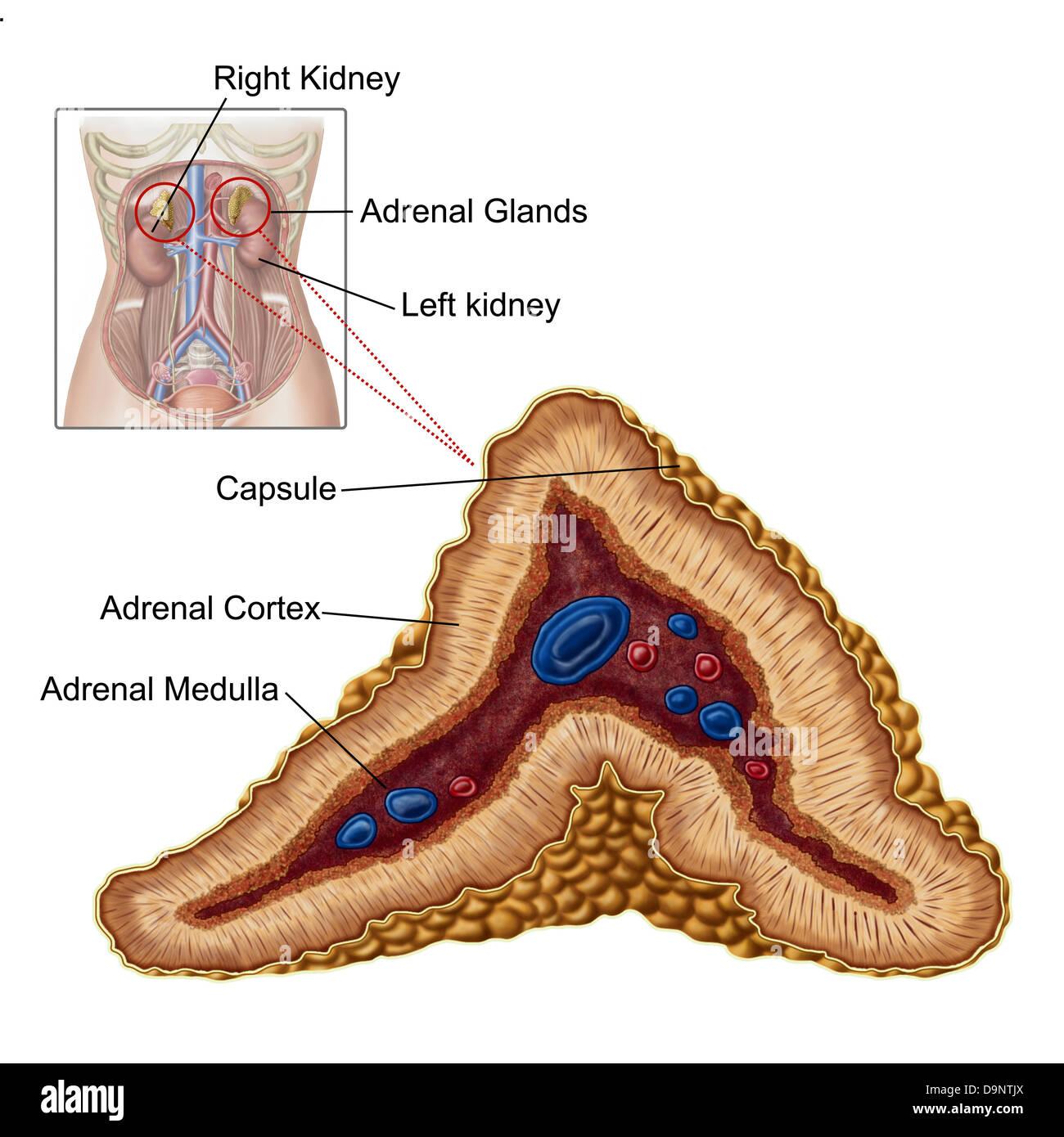 Anatomie der Nebenniere, Querschnitt Stockfoto, Bild: 57643346 - Alamy