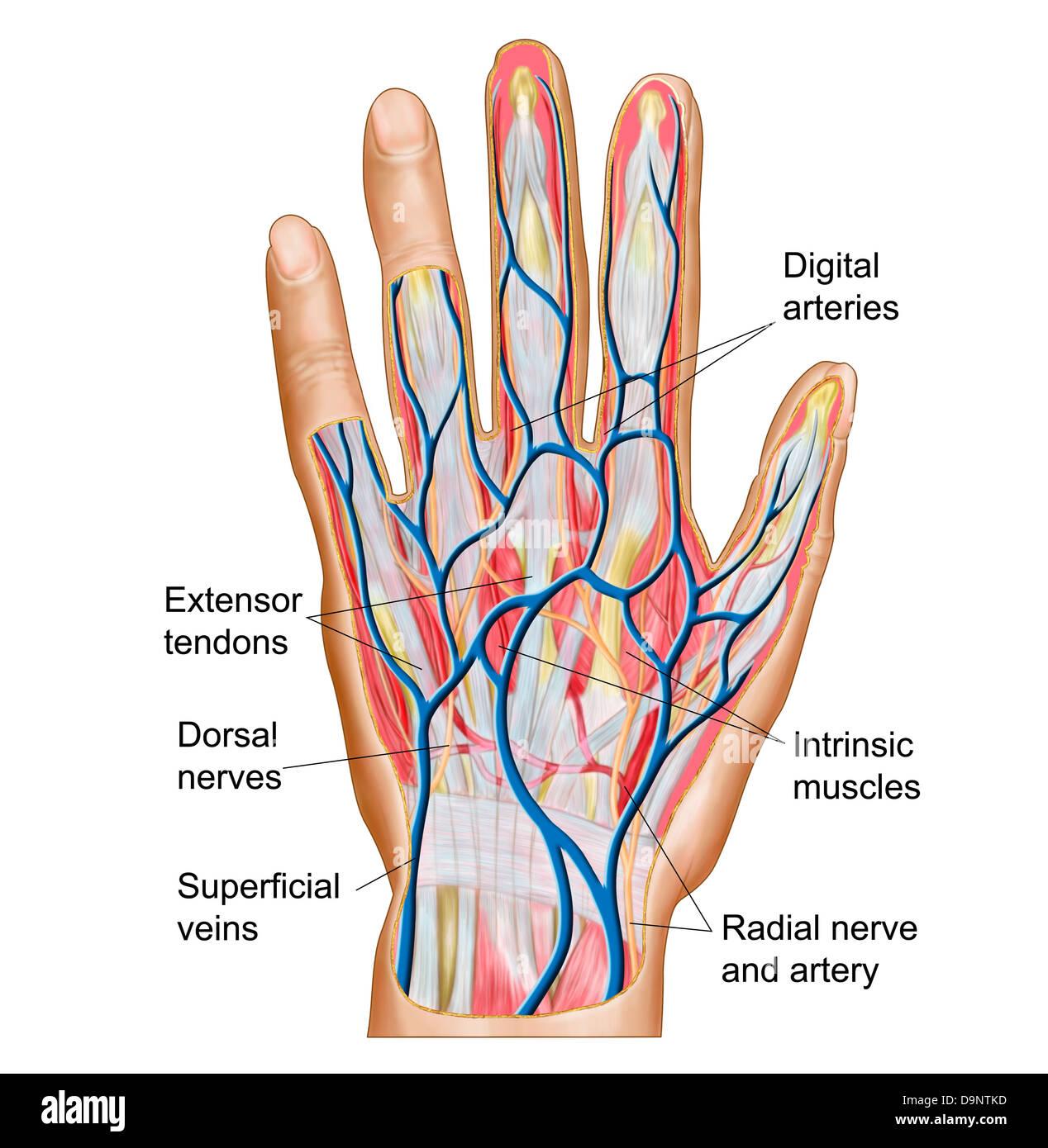 Anatomie des menschlichen Handrücken Stockfoto, Bild: 57643361 - Alamy