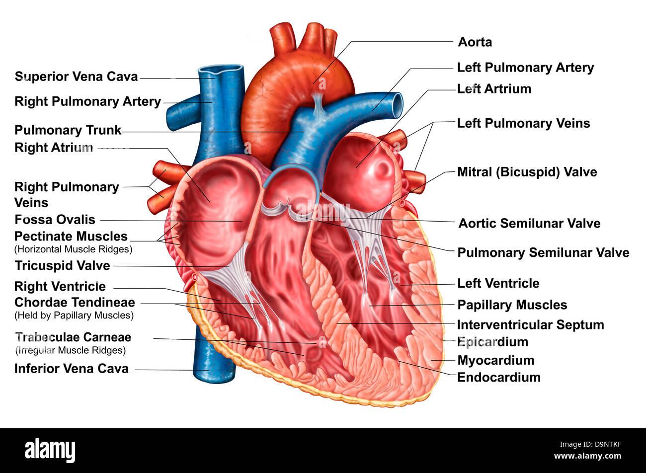 Anatomie des Herzens Interieur, frontalen Abschnitt Stockfoto, Bild ...