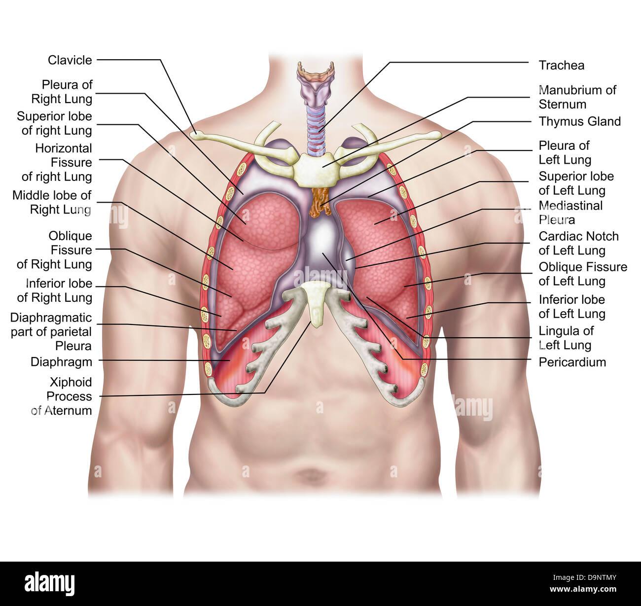 Anatomie der menschlichen Lunge an Ort und Stelle Stockfoto, Bild ...