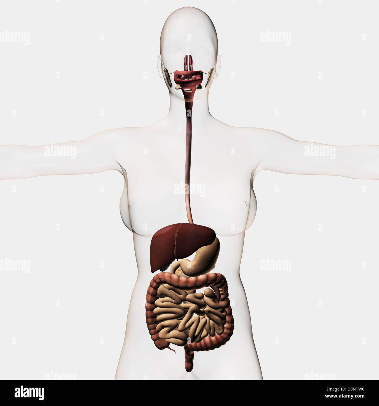 Gastrointestinal Stockfotos & Gastrointestinal Bilder - Alamy