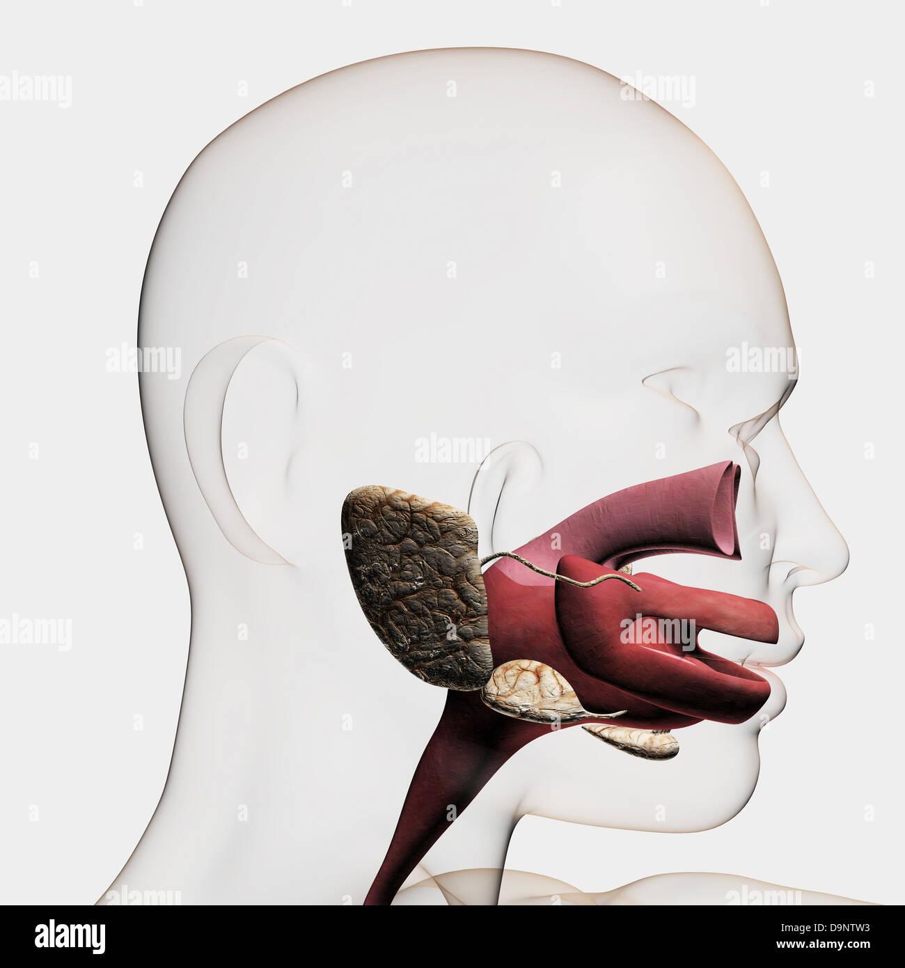 Ungewöhnlich Verdauungssystem Mund Bilder - Menschliche Anatomie ...