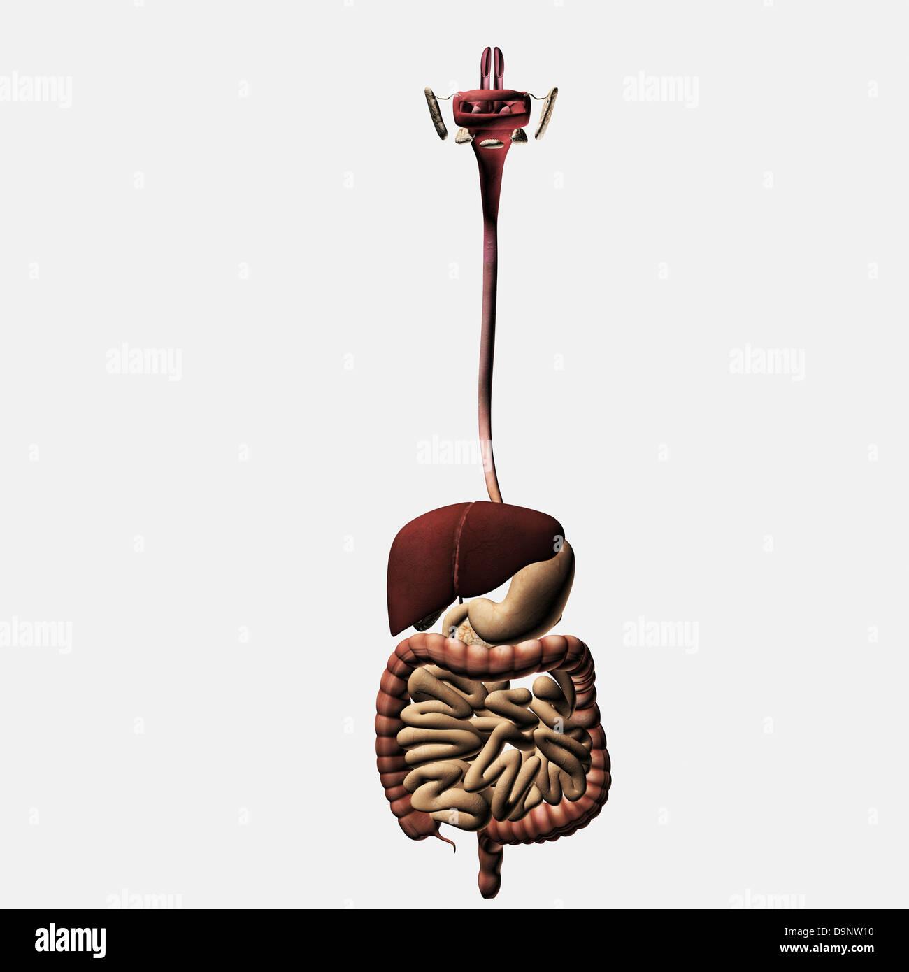 Small Intestine Anatomy Stockfotos & Small Intestine Anatomy Bilder ...