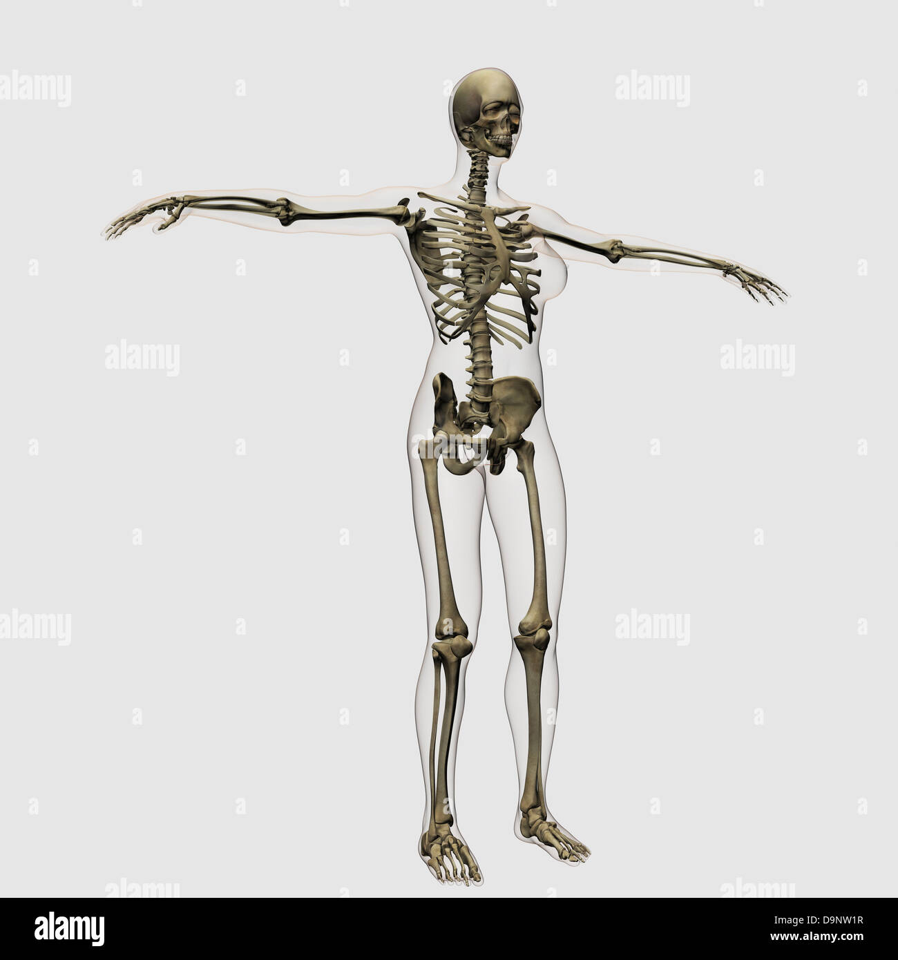 Medizinische Illustration der vollen weiblichen Skelett stehend vor ...