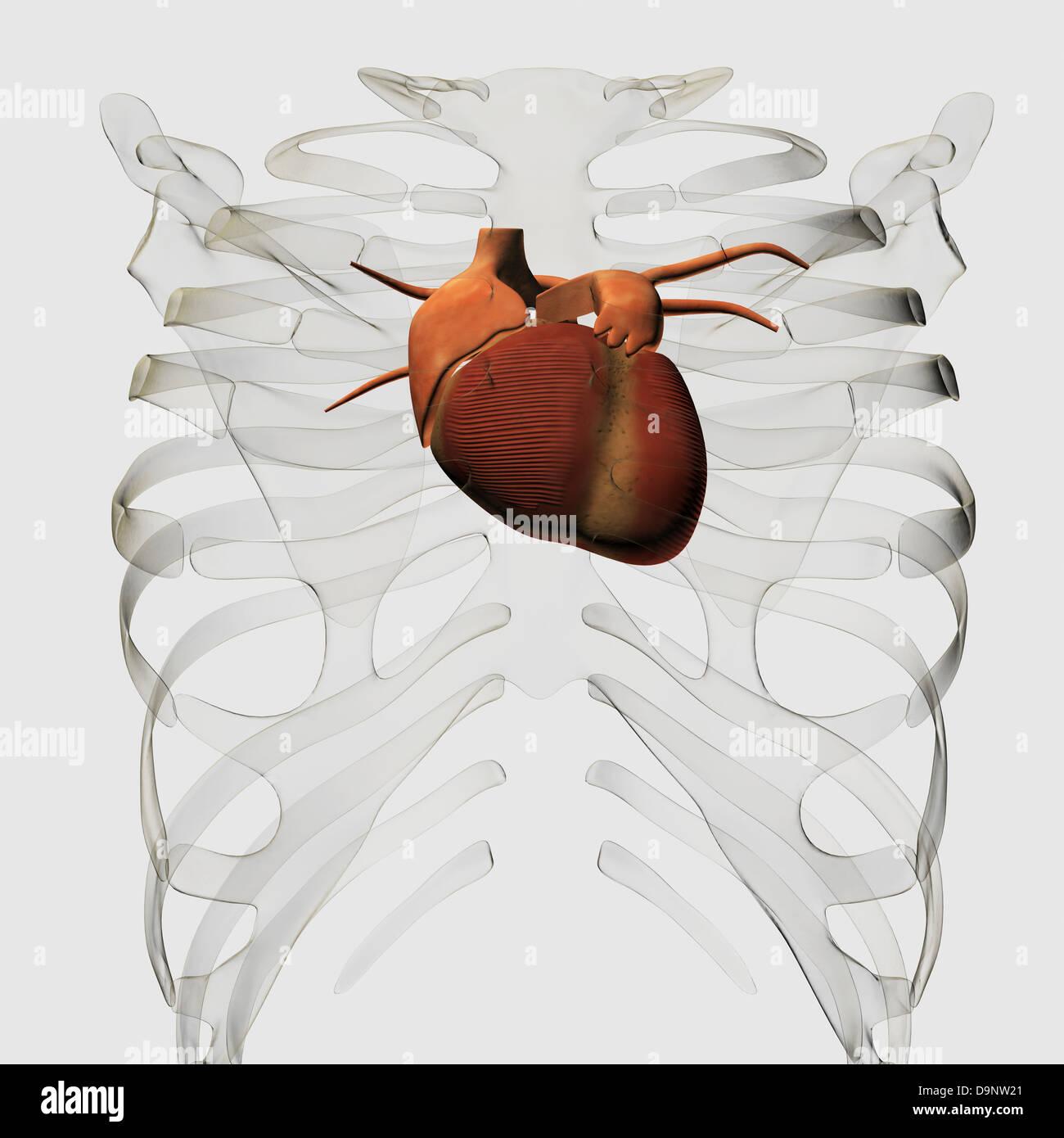 Medizinische Illustration des menschlichen Herzens und Brustkorb ...