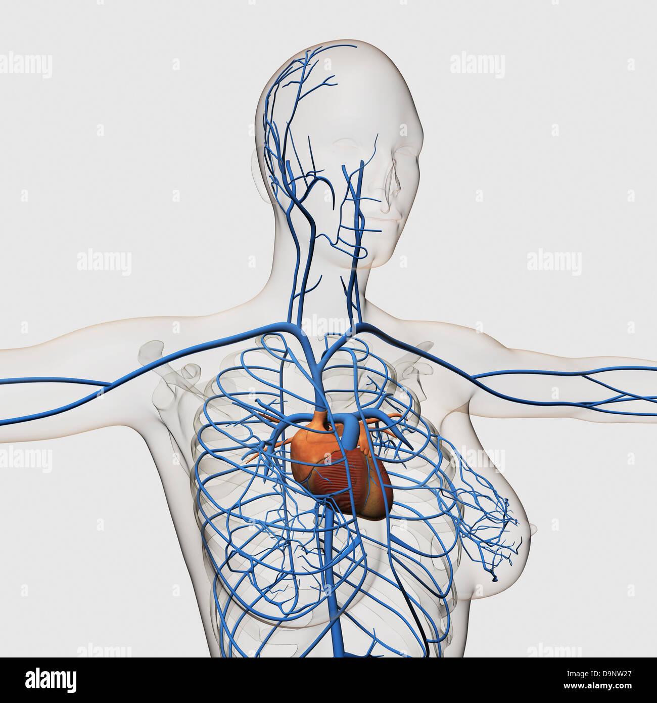Medizinische Illustration der Herz-Kreislauf-System mit Herz und ...